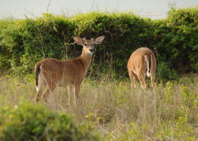 Two deer at Folsom Lake