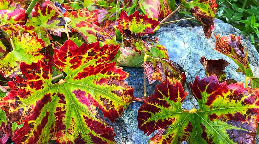 Fall leaves on a northern California fall getaway