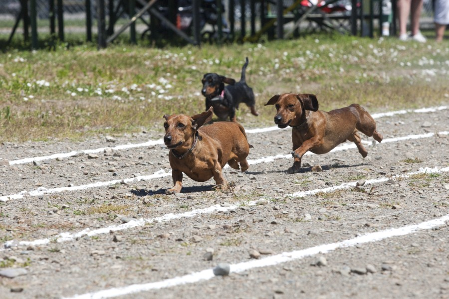 Dachshund racing in Placerville